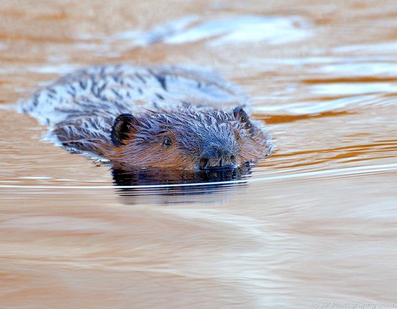 _JFF1230 Beaver Head On.jpg