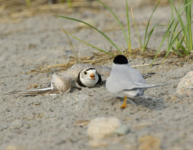 NAW4324 Piping Plover Confrontation 1.jpg
