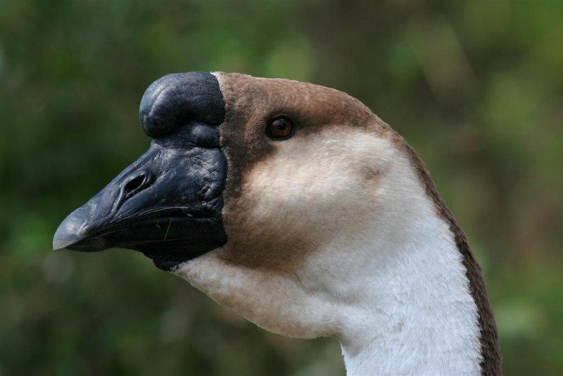 Brown  China Goose