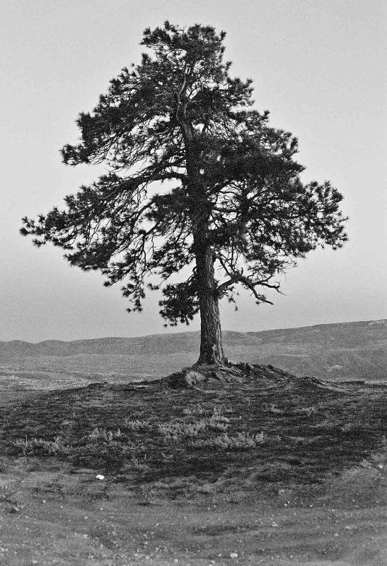 Lone Pine Tree On Brich Mountain Overlook Of Town