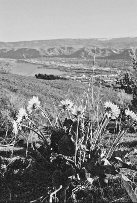 Arrowroot Flowers On Birch Mountain With View Over Wenatchee