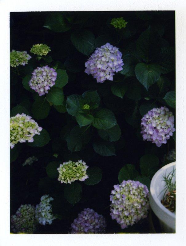 Backyard Hydrangeas