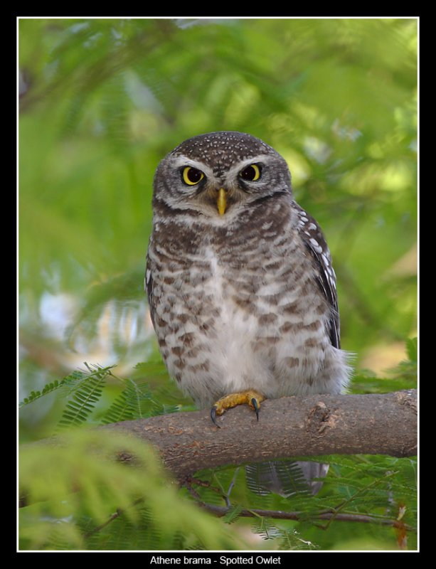 Spotted Owlet, Lalbagh