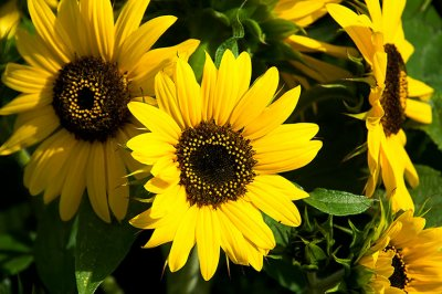 Flowering Under the Midnight Sun