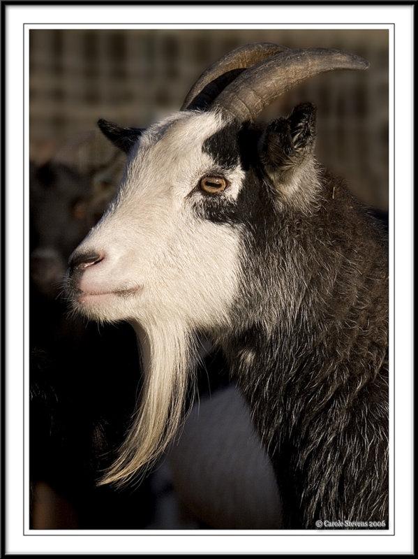 Billy goat !