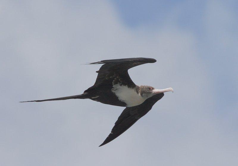 Great Frigatebird, female