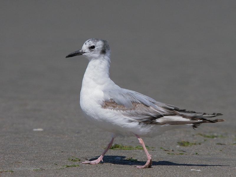 Bonapartes Gull, in first pre-basic molt