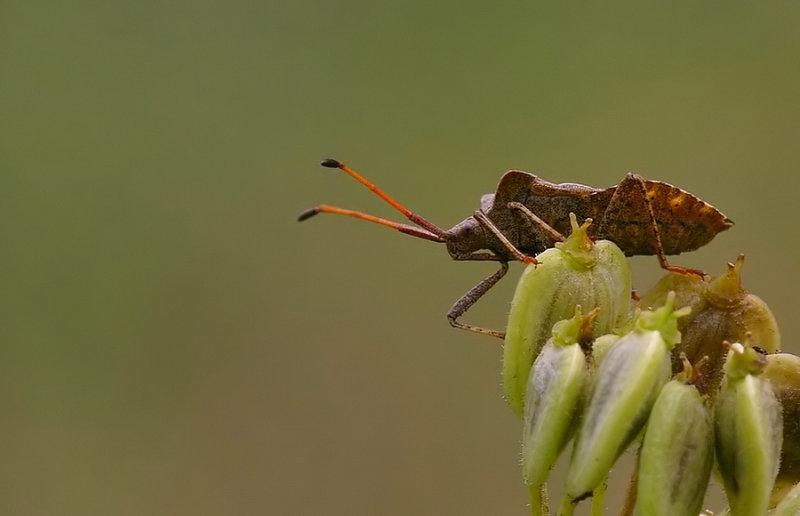 Zuringwants -Coreus Marginatus - Dock Leaf Bug