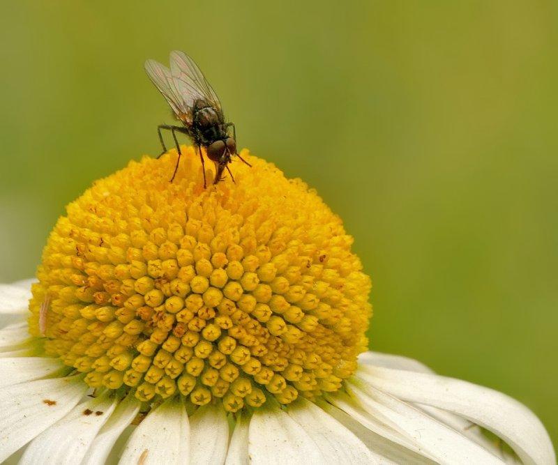 Vliegje op Margriet - Little fly on flower