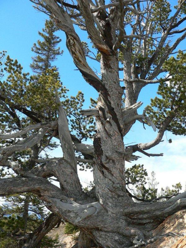 Pine vertical.jpg