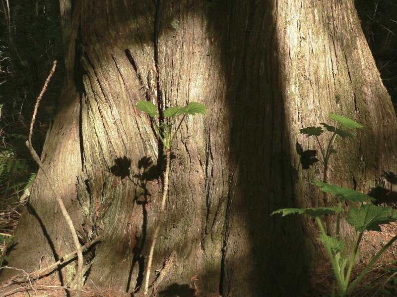 Big cedar.jpg