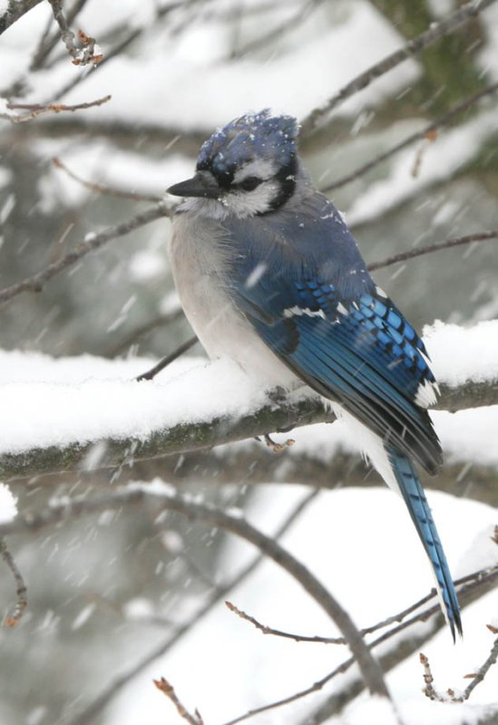 Blue Jay - First Snowfall