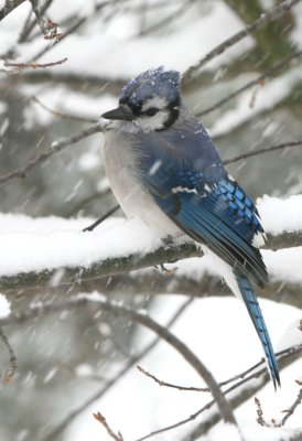 Blue Jay - First Snowfall