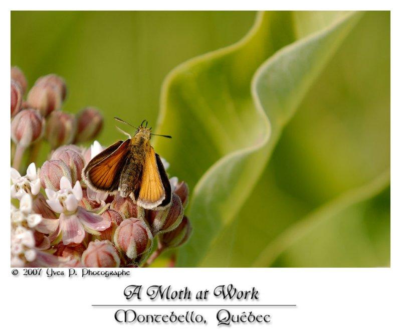 A Moth at work ...