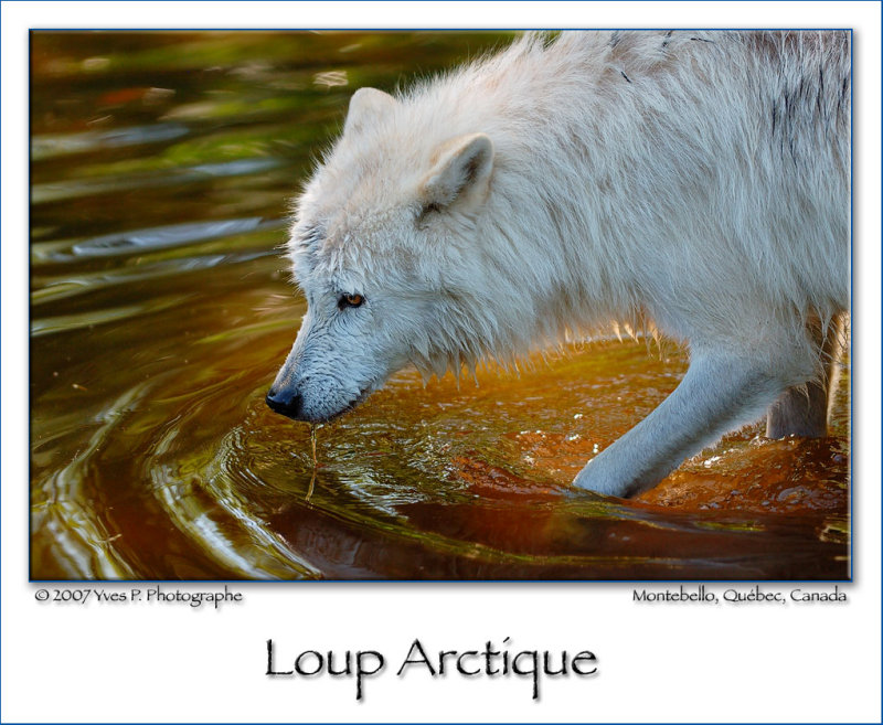 Arctic Wolf ...