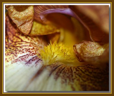 Brown bearded iris  - up close