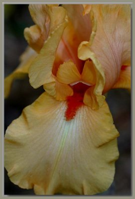 Bearded iris - Mandolin