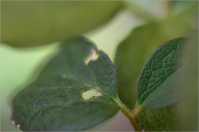 Clematis leaves