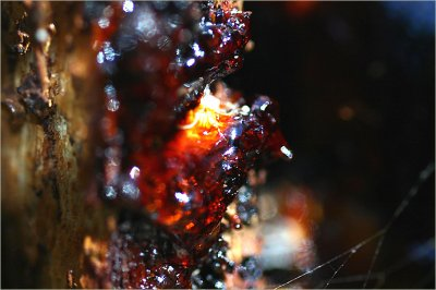 Resin on a gum tree