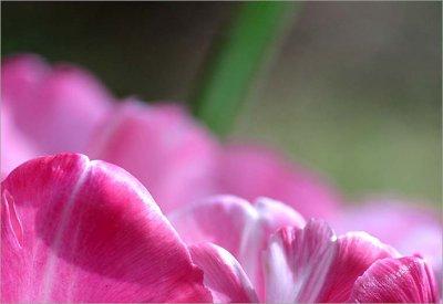 Petal tips tulip