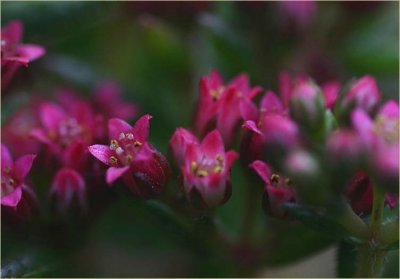 Tiny flowering succulent