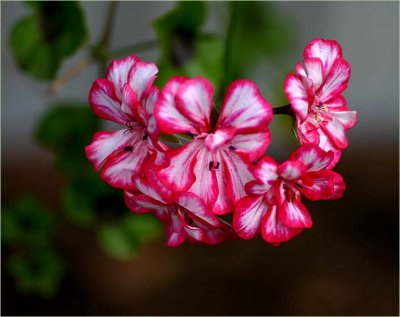 Old Stripey the pelargonium