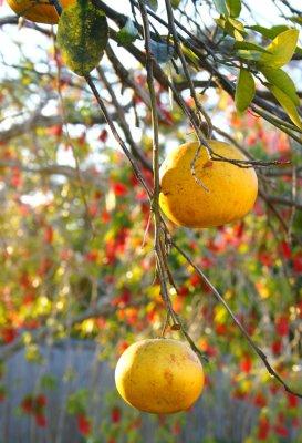 Sundown Grapefruit