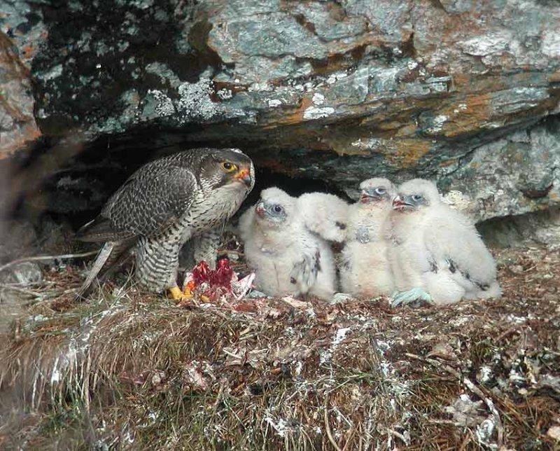 Gyr Falcon (Falco rusticolus)