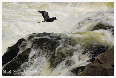 Heron over Great Falls, MD