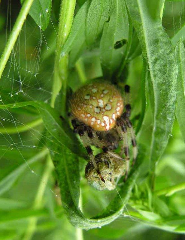 Araneus trifolium