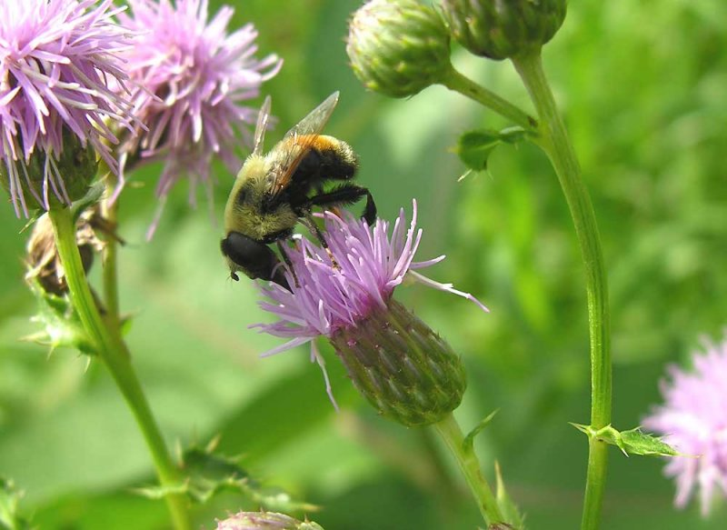 Volucella species (?) of bee mimic fly