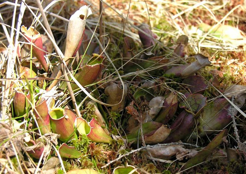 Sarracenia purpurea - Pitcher plants - view 1