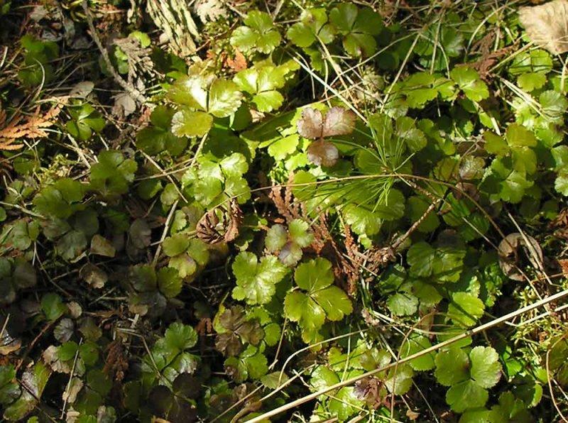 Waldsteinia fragarioides - Barrenland strawberry