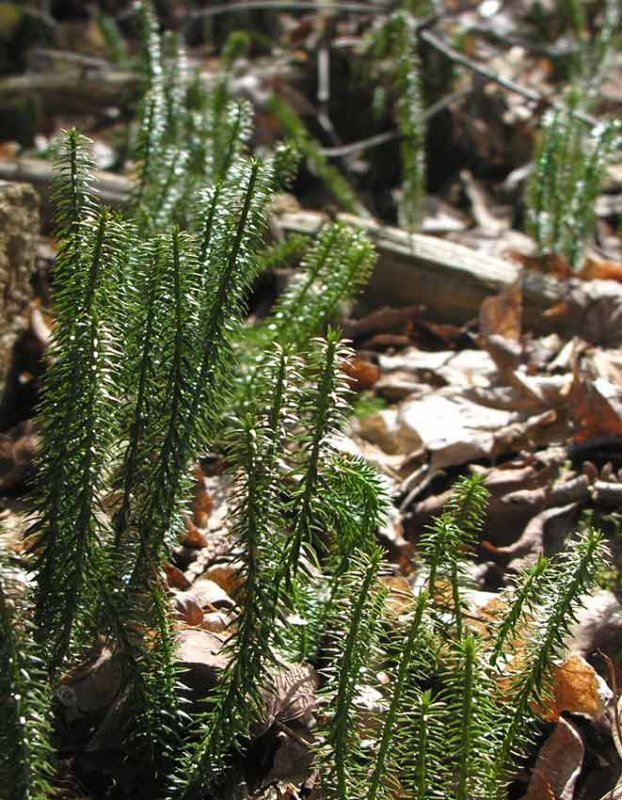 Huperzia lucidula - Shining Club Moss