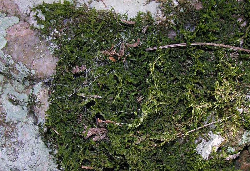 Hedwigia ciliata (?) -- Ciliate Hedwigia Moss (?)
