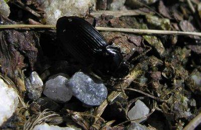 unknown black beetle