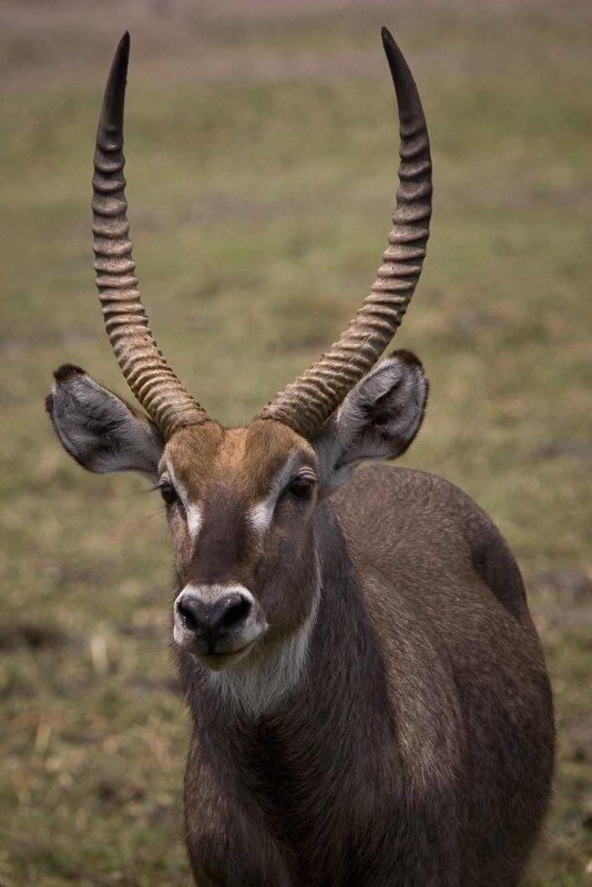 Botswana, Chobe NP Waterbok