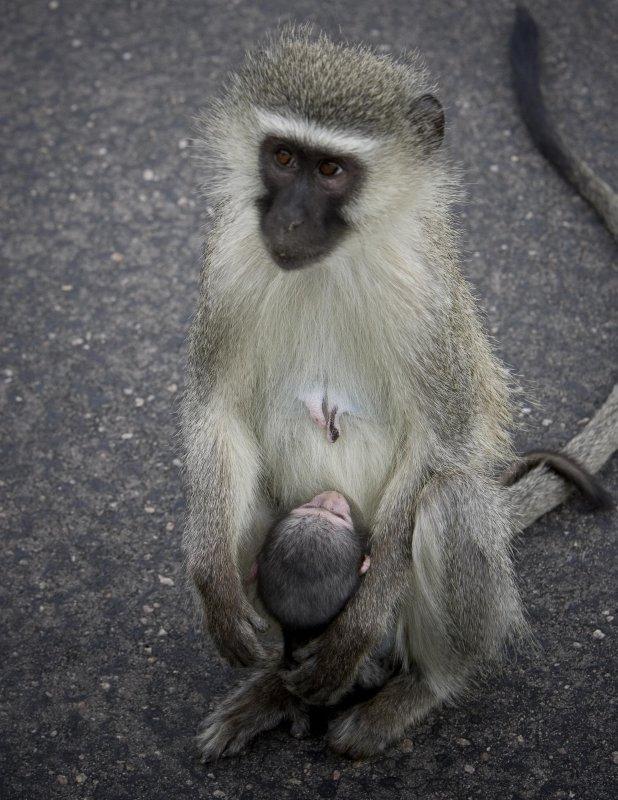 Vervet Monkey 1