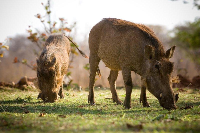Zimbabwe, Wart Hog 1