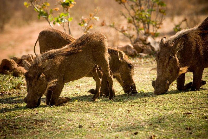 Zimbabwe, Wart Hog 2