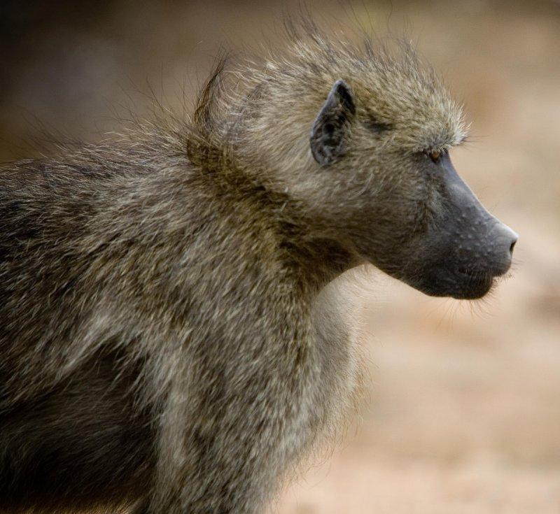 Baboon 4, Kruger NP