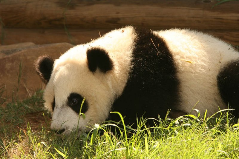 Mei Lan (Baby Girl Panda born September 6, 2006)