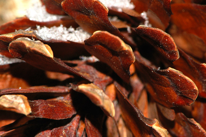 Close up with a pine cone
