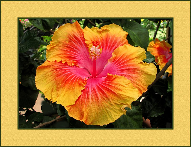 Hibiscus, The Path