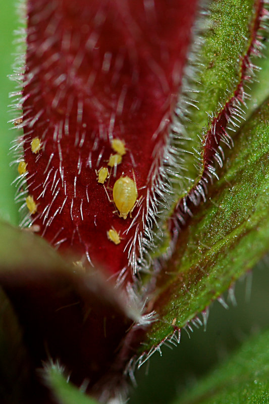 A family of aphids