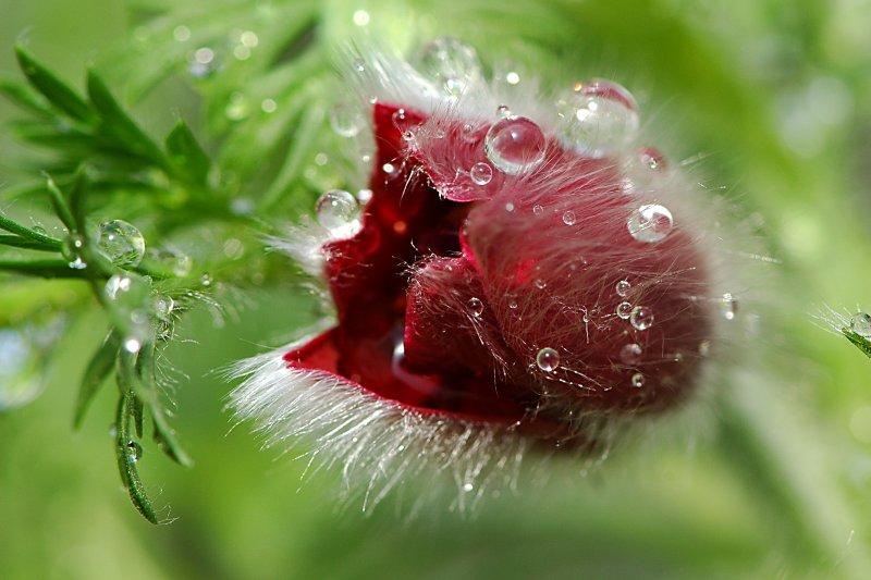 Water drops caught in a Pulsatilla flower