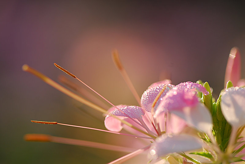 Cleome (Spider Plant)