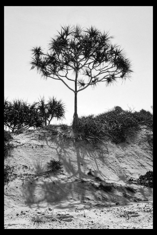 Pandanus and its shadow DSCN1328