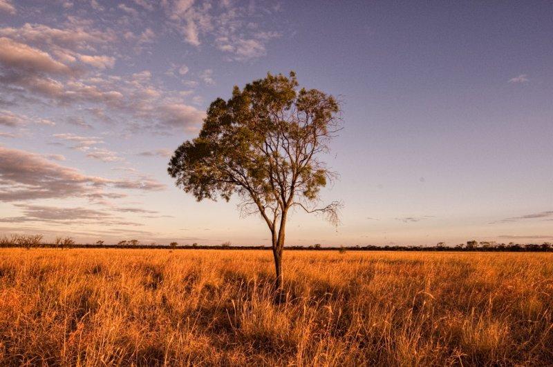Lone gidgee tree at sunset, Moorinya _DSC8992