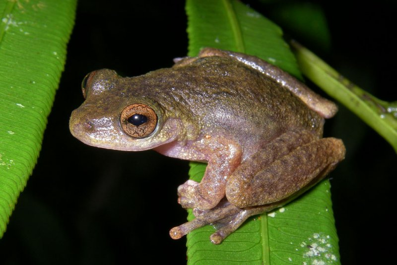 Common Mistfrog,  <i>Litoria rheocola</i>, near Innisfail, Queensland, Australia IMGP5192